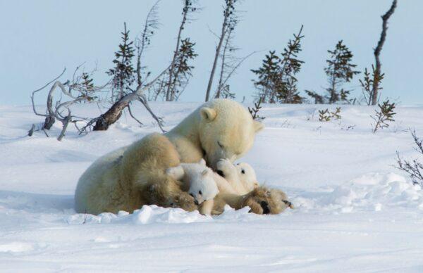 Female Polar Bears